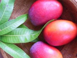 |季節のおくりもの|宮古島マンゴー品評会優勝・楽園の果実「有機完熟マンゴー」