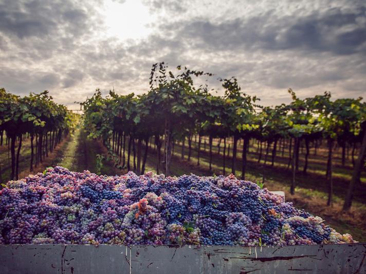 |和食とワイン|基礎知識編 Lesson03「赤ワイン用ブドウ品種」